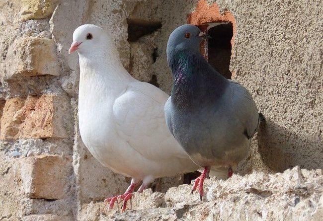 Histoire de pigeons.